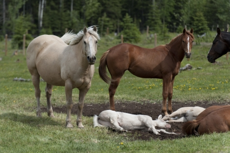 Horses in a ranch, Northern Alberta, Alberta, Canada photo