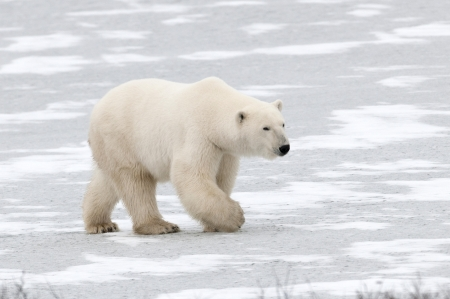 Polar bear (Ursus maritimus), Churchill, Manitoba, Canada photo