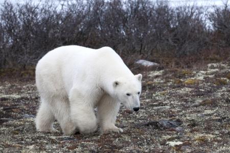 ursus: Polar bear (Ursus maritimus), Churchill, Manitoba, Canada