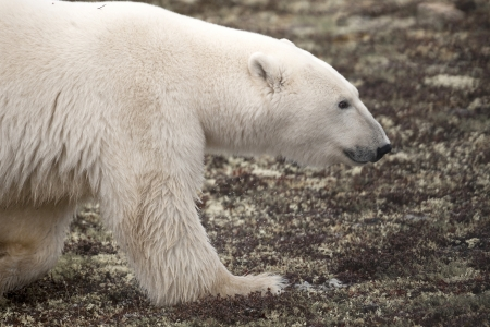 churchill: Polar bear (Ursus maritimus), Churchill, Manitoba, Canada