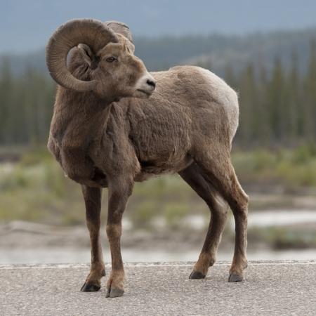 carnero: El borrego cimarrón (Ovis canadensis), Parque Nacional Jasper, Alberta, Canadá