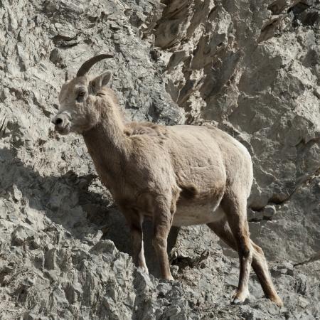 bighorn sheep: Female Bighorn pecore (Ovis canadensis), Jasper National Park, Alberta, Canada
