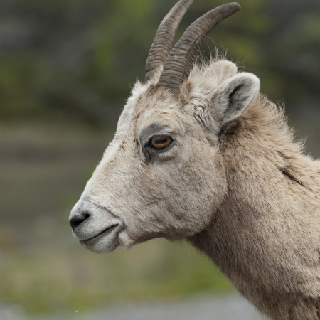 ovis: Female Bighorn sheep (Ovis canadensis), Jasper National Park, Alberta, Canada Stock Photo