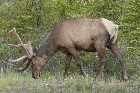 herbivorous animals: Elk (Cercus canadensis) grazing in a forest, Jasper National Park, Alberta, Canada