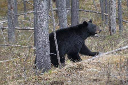 oso negro: Oso negro (Ursus americanus) caminando en un bosque, el Parque Nacional Jasper, Alberta, Canadá