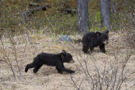 animal behavior: Two Black bear cubs (Ursus americanus) playing in a forest, Jasper National Park, Alberta, Canada