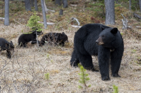 animal behavior: Black bear (Ursus americanus) with its cubs in a forest, Jasper National Park, Alberta, Canada