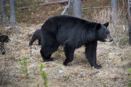 oso negro: Oso negro (Ursus americanus), con sus cachorros en un bosque, el Parque Nacional Jasper, Alberta, Canad�