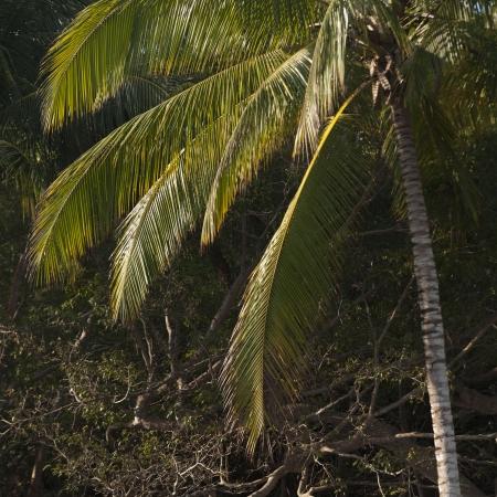 Palm tree on the beach, Sayulita, Nayarit, Mexico