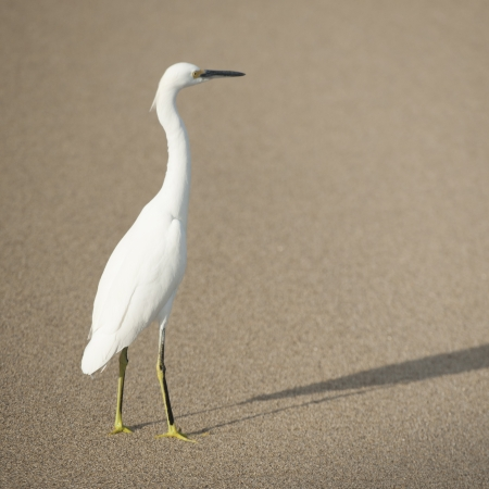 Egret on the beach, Sayulita, Nayarit, Mexico photo