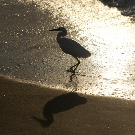 shadow: Egret on the beach, Sayulita, Nayarit, Mexico