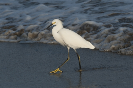 birdlife: Egret foraging on the beach, Sayulita, Nayarit, Mexico