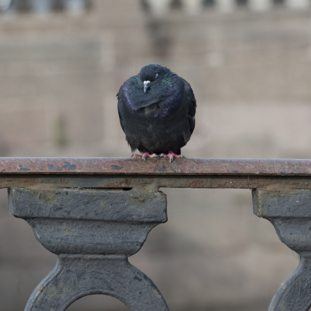 Close-up of a pigeon, St. Petersburg, Russia photo