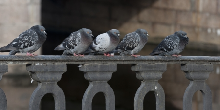 Pigeons perching on the railings, St. Petersburg, Russia photo