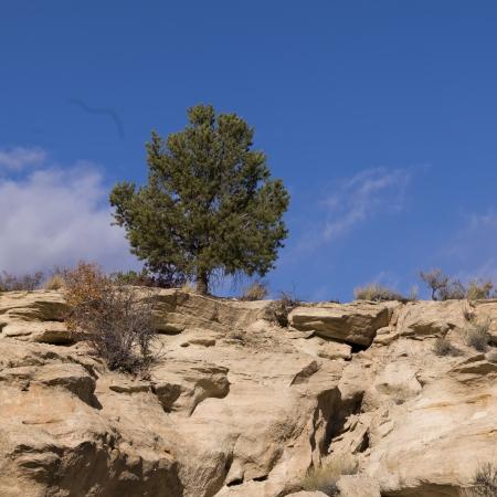 paria canyon: Tree on a cliff, Paria Canyon, Paria, Kane County, Utah, USA
