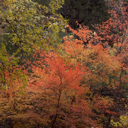 Maple trees in a forest, Zion National Park, Utah, USA photo