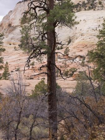 desert scenes: Trees on a mountain, Zion National Park, Utah, USA Stock Photo