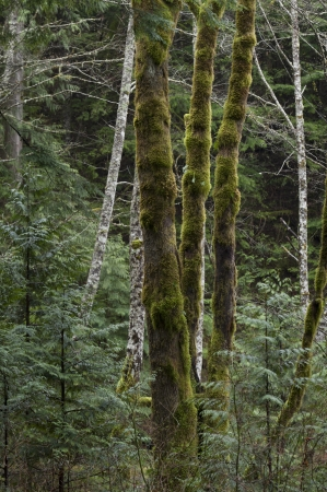 Trees in a forest, Shannon Falls Provincial Park, British Columbia, Canada photo