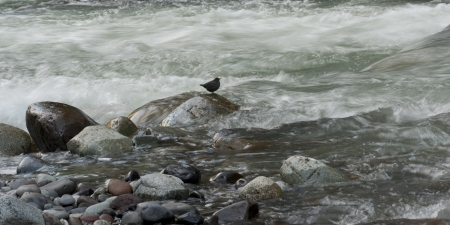Bird on rock in the stream, Whistler, British Columbia, Canada photo