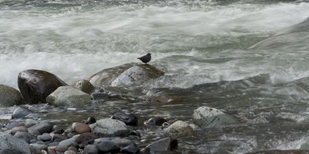 Bird on rock in the stream, Whistler, British Columbia, Canada photo