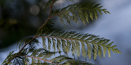 Detail of pine leaves, Whistler, British Columbia, Canada photo