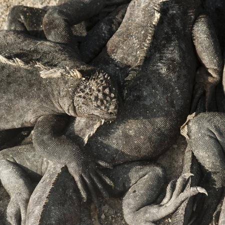 four species: Marine iguanas (Amblyrhynchus cristatus), Punta Espinoza, Fernandina Island, Galapagos Islands, Ecuador