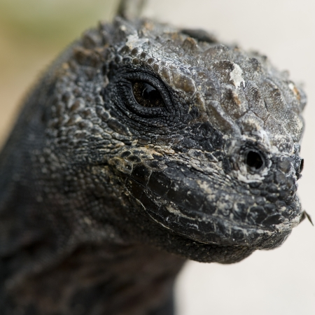 Marine iguana (Amblyrhynchus cristatus), North Seymour Island, Galapagos Islands, Ecuador photo