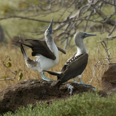 webbed foot: Pair of Blue-Footed boobies (Sula nebouxii), North Seymour Island, Galapagos Islands, Ecuador
