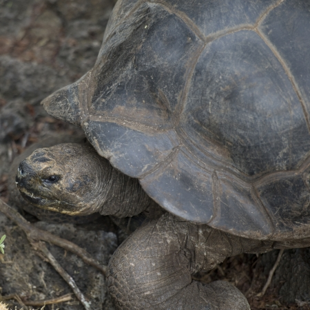 hardness: Giant tortoise, Charles Darwin Research Station, Santa Cruz Island, Galapagos Islands, Ecuador