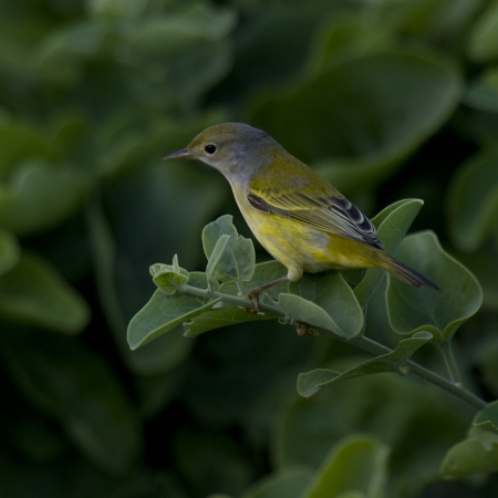 Finch perching on a branch, Santa Cruz Island, Galapagos Islands, Ecuador photo