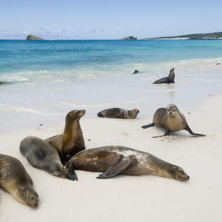 Galapagos sea lions (Zalophus californianus wollebacki), Gardner Bay, Espanola Island, Galapagos Islands, Ecuador photo