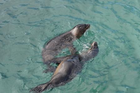 no swimming: Galapagos sea lions (Zalophus californianus wollebacki), Puerto Baquerizo Moreno, San Cristobal Island, Galapagos Islands, Ecuador