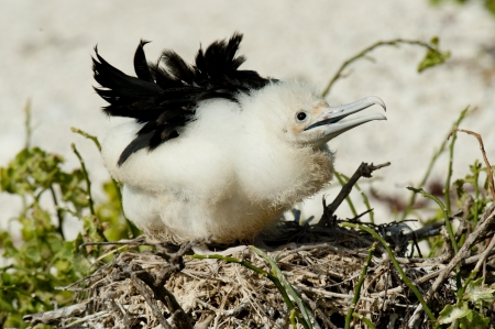 Great frigatebird (Fregata minor) chick in its nest, Darwin Bay, Genovesa Island, Galapagos Islands, Ecuador photo