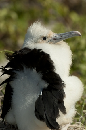 Great frigatebird (Fregata minor) chick, Darwin Bay, Genovesa Island, Galapagos Islands, Ecuador photo
