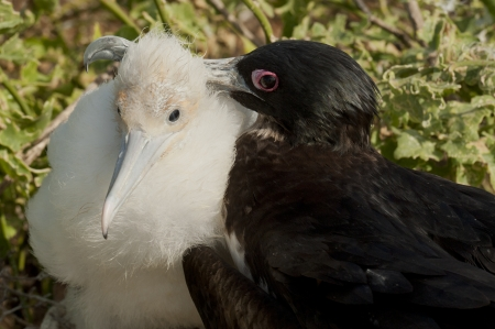 Great frigatebird (Fregata minor) with its chick, Darwin Bay, Genovesa Island, Galapagos Islands, Ecuador photo