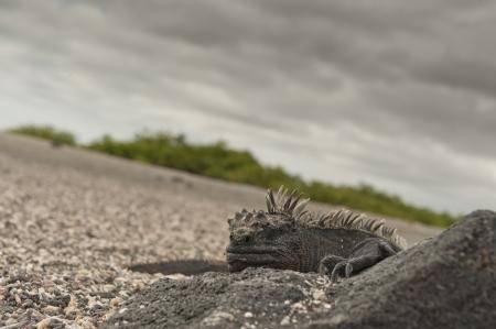 nature photography: Marine iguana (Amblyrhynchus cristatus), Punta Espinoza, Fernandina Island, Galapagos Islands, Ecuador