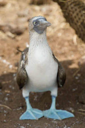 booby: Blue-Footed booby (Sula nebouxii), North Seymour Island, Galapagos Islands, Ecuador Stock Photo