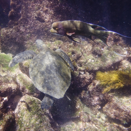 tagus: Sea turtle swimming underwater, Tagus Cove, Isabela Island, Galapagos Islands, Ecuador