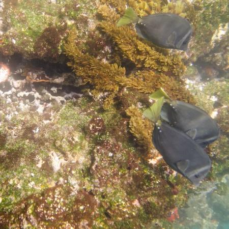 levit: Three fish swimming underwater, Tagus Cove, Isabela Island, Galapagos Islands, Ecuador