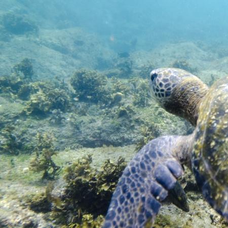 Sea turtle swimming underwater, Puerto Egas, Santiago Island, Galapagos Islands, Ecuador Фото со стока