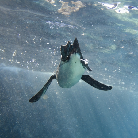 levit: Penguin swimming underwater, Puerto Egas, Santiago Island, Galapagos Islands, Ecuador Stock Photo