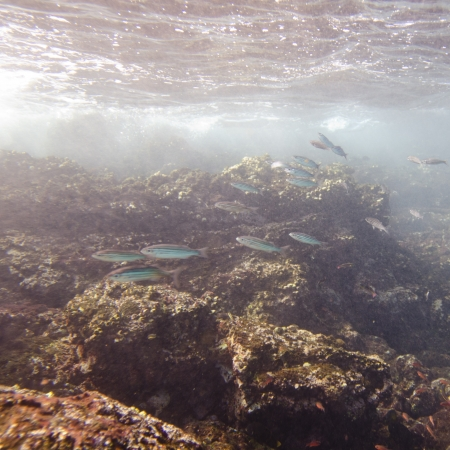 levit: School of fish swimming underwater, Puerto Egas, Santiago Island, Galapagos Islands, Ecuador