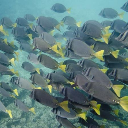 zebrasoma: Surgeon fish  Zebrasoma flavescens  swimming underwater, Puerto Egas, Santiago Island, Galapagos Islands, Ecuador Stock Photo