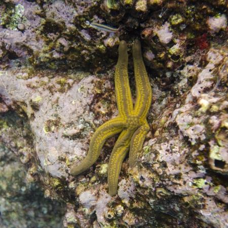 Starfish on a rock underwater, Puerto Egas, Santiago Island, Galapagos Islands, Ecuador Фото со стока