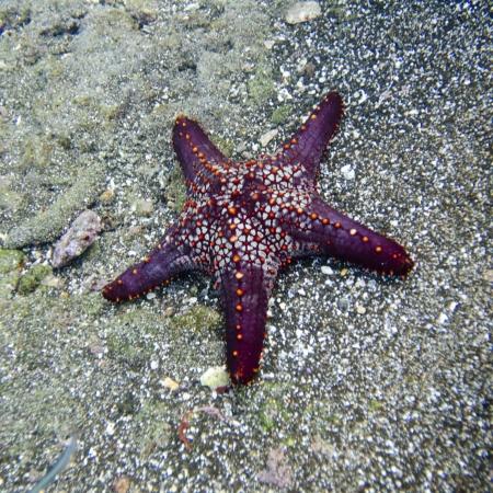High angle view of a starfish underwater, Bartolome Island, Galapagos Islands, Ecuador
