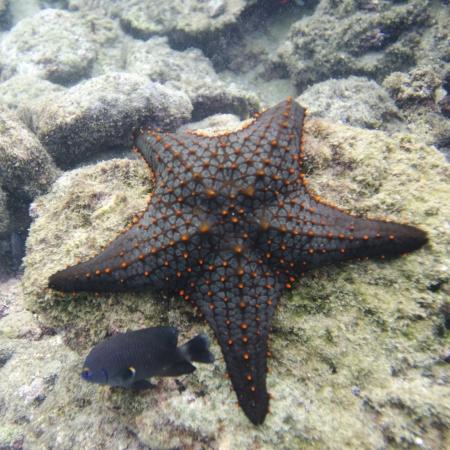 levit: Starfish with another small fish on a rock, Bartolome Island, Galapagos Islands, Ecuador