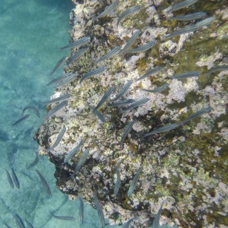 levit: School of fish swimming underwater, Bartolome Island, Galapagos Islands, Ecuador