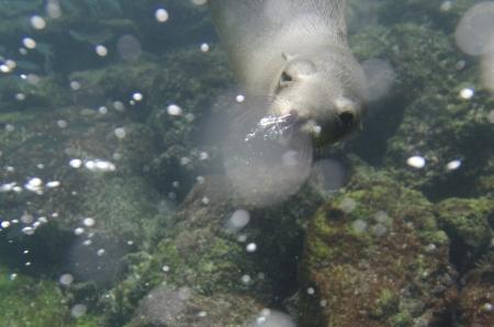 levit: Galapagos sea lion  Zalophus californianus wollebacki  swimming underwater, San Cristobal Island, Galapagos Islands, Ecuador