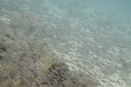 levit: School of fish swimming underwater, San Cristobal Island, Galapagos Islands, Ecuador