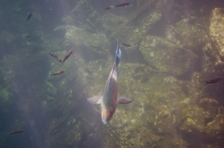 School of Parrotfish swimming underwater, Darwin Bay, Genovesa Island, Galapagos Islands, Ecuador Reklamní fotografie
